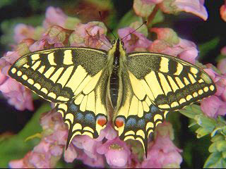 Schwalbenschwanz Papilio machaon Swallowtail (17080 Byte)