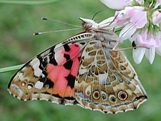 Distelfalter Vanessa cardui Painted Lady (6226 Byte)