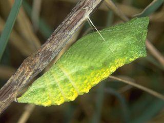 Schmetterlinge Im Winter Am Beispiel Der Arten Admiral
