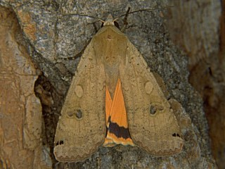 Hausmutter Noctua pronuba Yellow Underwing (6665 Byte)