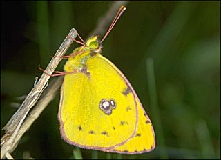 Hufeisenklee-Gelbling Colias australis (alfacariensis) Pale / Berger's Clouded Yellow