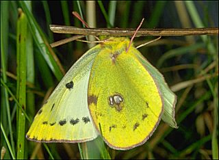 Weiblicher Falter Goldene Acht / Wei�klee-Gelbling Colias hyale Pale Clouded Yellow (19980 Byte)