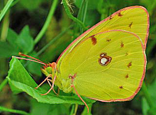 Wander-Gelbling Clouded Yellow Colias croceus (17182 Byte)