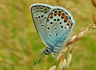 Argus-Bl�uling Gei�klee-Bl�uling Silver-studded Blue Plebeius argus (27560 Byte)