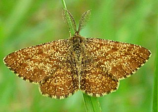 Heidekrautspanner (M�nnchen) Ematurga atomaria Common Heath (23522 Byte)