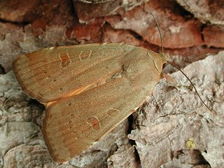 Breitfl�gelige Bandeule Noctua comes Lesser Yellow Underwing (30895 Byte)