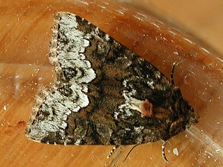 (Striegel-) Halmeulchen Oligia strigilis  Marbled Minor (32553 Byte)