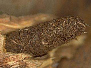 hornissen glasfluegler hornissen schwaermer sesia apiformis