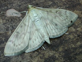 Nesselzünsler  Pleurotypa ruralis   Mother of Pearl