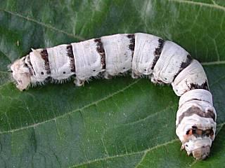Seidenspinnerraupe Seidenspinner Maulbeerspinner Bombyx mori Domestic Silkmoth