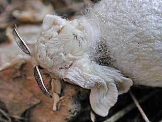 Schlüpfender Seidenspinner Maulbeerspinner   Bombyx mori   Domestic Silkmoth