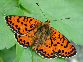Roter Scheckenfalter Melitaea didyma Spotted Fritillary (24414 Byte)