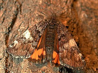 Birken-Jungfernkind Archiearis parthenias Orange Underwing