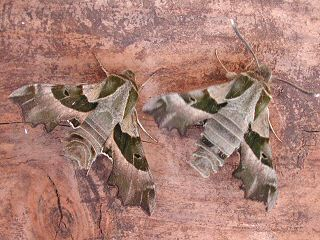 Nachtkerzenschw�rmer Willowherb Hawk-moth Proserpinus proserpina (33552 Byte)