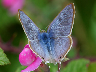 Gro�er Wanderbl�uling Lampides boeticus Long-tailed Blue