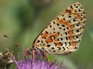 Roter Scheckenfalter Spotted Fritillary Melitaea didyma