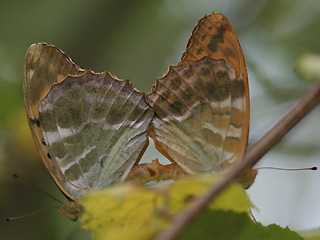Paarung Kaisermantel  Argynnis paphia Silver-washed Fritillary