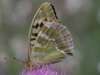 Weibchen Kaisermantel  Argynnis paphia Silver-washed Fritillary Form valesina