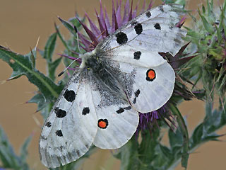 Apollo Parnassius apollo Apollofalter