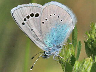 Alexis-Bl�uling Green Underside Blue Glaucopsyche alexis