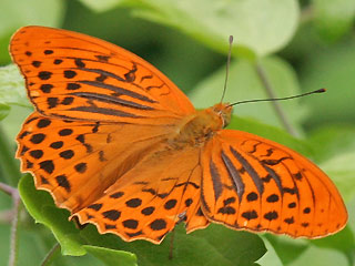 M�nnchen Kaisermantel Argynnis paphia Silver-washed Fritillary