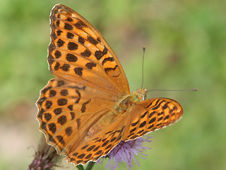 Weibchen Kaisermantel  Argynnis paphia Silver-washed Fritillary