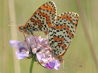Paarung Roter Scheckenfalter Melitaea didyma Spotted Fritillary