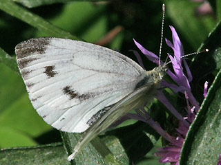 Weibchen Rapswei�ling Pieris napi Green-veined White