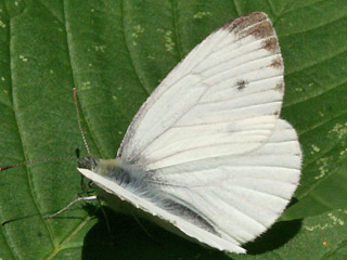 M�nnchen Rapswei�ling Pieris napi Green-veined White