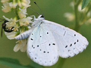 Faulbaumbl�uling  Holly Blue Celastrina argiolus