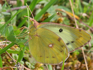 Eier ablegendes Weibchen Colias alfacariensis Hufeisenklee-Weiüling, Bergers Clouded Yellow