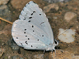 Faulbaumbl�uling Celastrina argiolus Holly Blue
