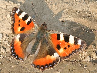 nymphalis aglais urticae kleiner fuchs small tortoiseshell. Black Bedroom Furniture Sets. Home Design Ideas
