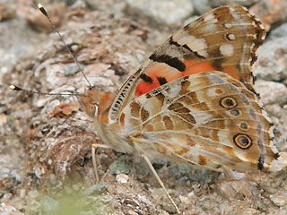 Vanessa cardui Distelfalter Painted Lady Wanderfalfter