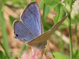 M�nnchen Gro�er Wander-Bl�uling Lampides boeticus Long-tailed Blue