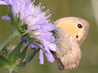 Kleines Ochsenaige Hyponephele lycaon  Dusty Meadow Brown