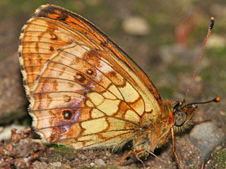 Brenthis ino  M�des��-Perlmutterfalter  Lesser Marbled Fritillary