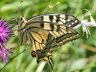 Schwalbenschwanz Papilio machaon Swallowtail