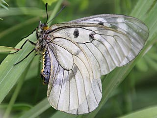 Schwarzer Apollo  Parnassius mnemosyne Clouded Apollo