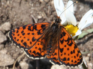 Roter Scheckenfalter Melitaea didyma Spotted Fritillary