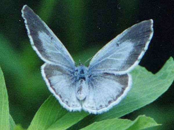 Weibchen Faulbaumbl�uling  Holly Blue Celastrina argiolus (14129 Byte)