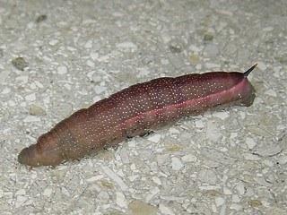 Kolibri Falter Kolibri Schwrmer Macroglossum Stellatarum