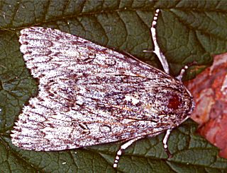Ahorneule Acronicta aceris The Sycamore (31520 Byte)