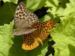 Paarung Kaisermantel  Argynnis paphia Silver-washed Fritillary Form valesina