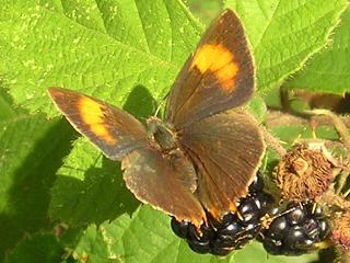 Nierenfleck-Zipfelfalter Thecla betulae Brown Hairstreak