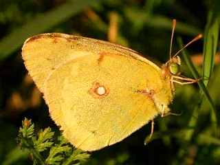 �stlicher Gelbling  Colias erate  Eastern Pale Clouded Yellow