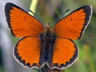 Gro�er Feuerfalter M�nnnchen Lycaena dispar Large Copper (21201 Byte)