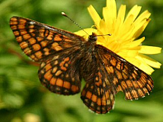 Euphydryas intermedia Asian Fritillary