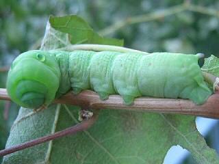 Grüne Raupe Theretra alecto  Levant Hawk-moth Orientalischer Weinschwärmer