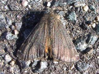 Auen-Jungfernkind Archiearis notha Light Orange Underwing